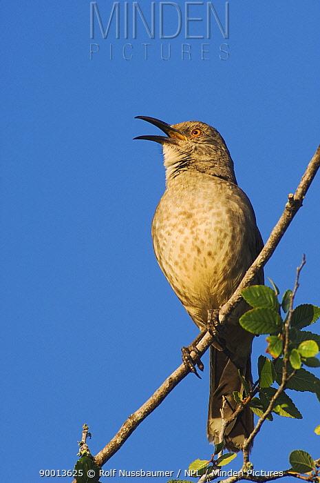 Curve-billed Thrasher (Toxostoma curvirostre) male singing, Rio Grande Valley, Texas  -  Rolf Nussbaumer/ npl