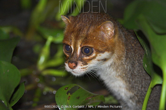 Flat-headed cat (Prionailurus planiceps) hunting frogs at night Menanggol River, Sabah, Borneo  -  Nick Garbutt/ npl