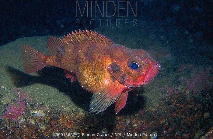 Norway redfish (Sebastes viviparus), Norway  -  Florian Graner/ npl