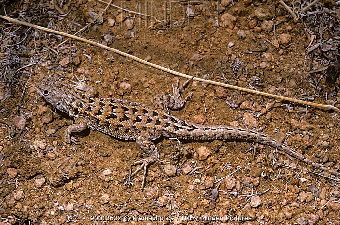 Atacama sand lizard (Liolaemus atacamensis) Atacama Desert, Chile  -  Premaphotos/ npl