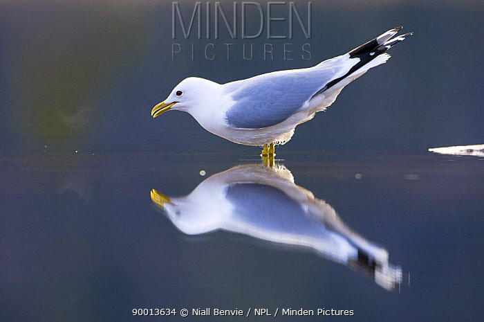 Mew Gull (Larus canus) about to drink,, Tr�nelag, Norway  -  Niall Benvie/ npl