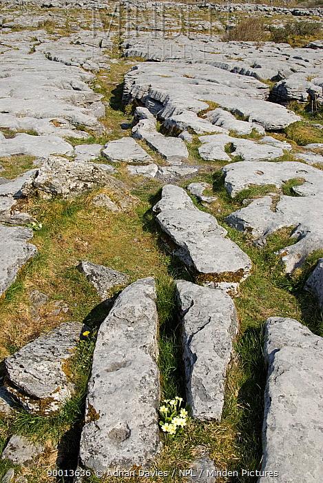 Limestone Pavement with flowering Primrose (Primula vulgaris), The Burren, County Clare, Ireland  -  Adrian Davies/ npl