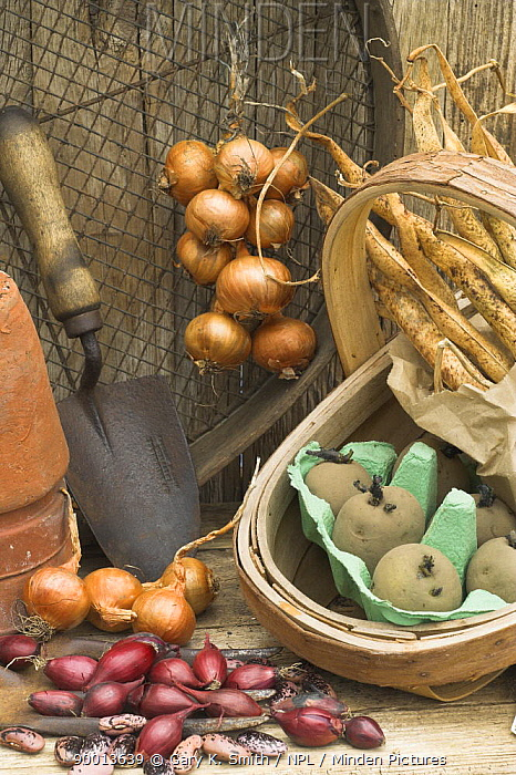 Scallion (Allium cepa) Rustic potting shed still life with garden tools, Onion sets, Shallots, Runner bean and Potato seeds  -  Gary K. Smith/ npl