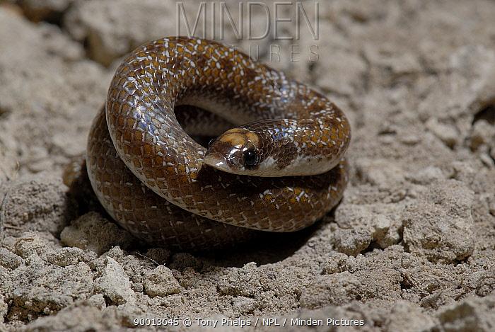Sundevall's shovel-snout Snake (Prosyma sundevalli) tightly coiled, Western Cape, South Africa  -  Tony Phelps/ npl