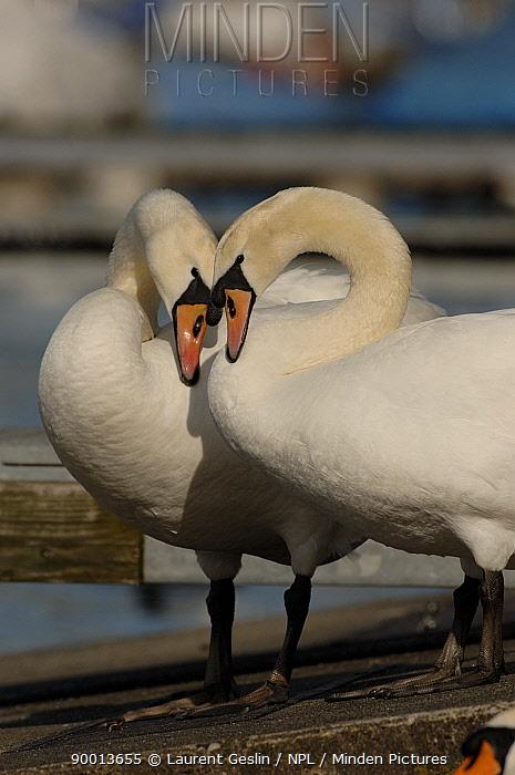 Mute Swan (Cygnus olor) pair courting Walthamstow reservoir, London, United Kingdom  -  Laurent Geslin/ npl