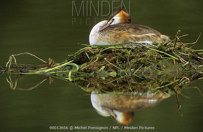 Great Crested Grebe (Podiceps cristatus) on nest incubating eggs, Lorraine, France  -  Michel Poinsignon/ npl