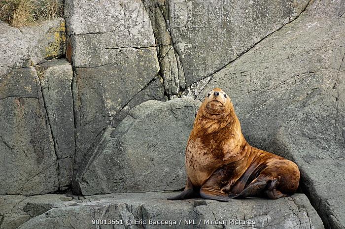Steller sealion (Eumetopias jubatus) resting on cliff, Johnstone Strait, Vancouver Island, British Columbia, Canada Red list of endangered species  -  Eric Baccega/ npl