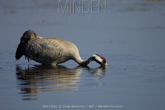 Common Crane (Grus grus) feeding, Hornborgasj�n Lake, Sweden  -  Inaki Relanzon/ npl