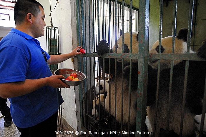 Giant Panda (Ailuropoda melanoleuca) keepder feeding at the Chengdu Research Base of Giant Panda Breeding  -  Eric Baccega/ npl