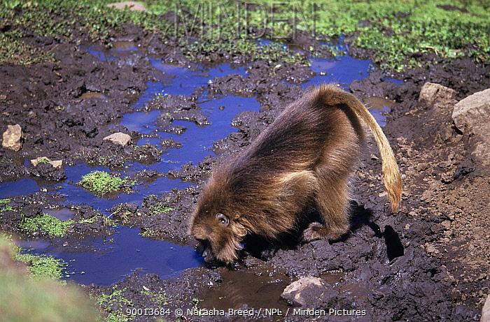 Gelada Baboon (Theropithecus gelada) male drinking, Ethiopia  -  Natasha Breed/ npl