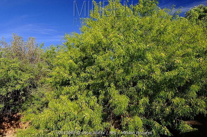 Honey Mesquite bush (Prosopis glandulosa) Arizona, USA  -  Dave Watts/ npl