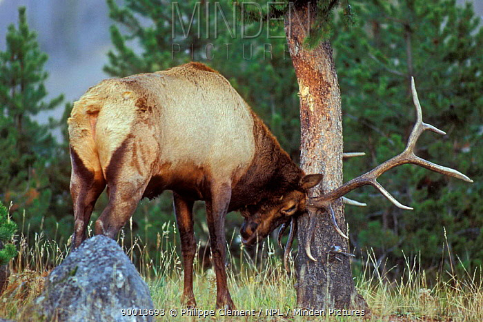 Elk stag (Cervus elaphus) rubbing tree bark with glands to place scent marks, Yellowstone NP, Wyoming, USA  -  Philippe Clement/ npl