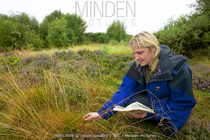 Scientist researching heathland habitat, identifying grasses, UK  -  Jason Smalley/ npl