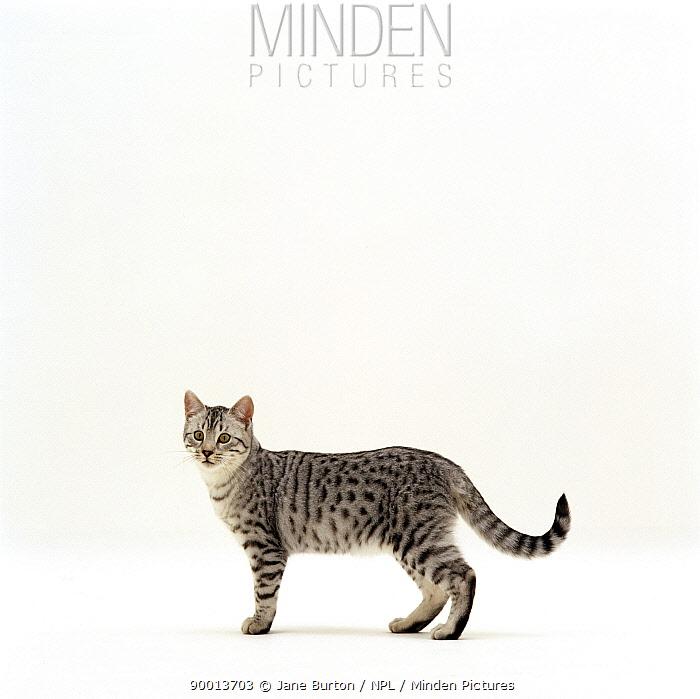 Domestic Cat (Felis catus) 5-month Silver spotted shorthair male 'Arum'  -  Jane Burton/ npl