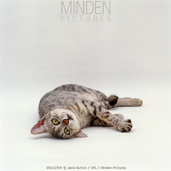 Domestic Cat (Felis catus) Silver egyptian mau 'Holly' rolling  -  Jane Burton/ npl