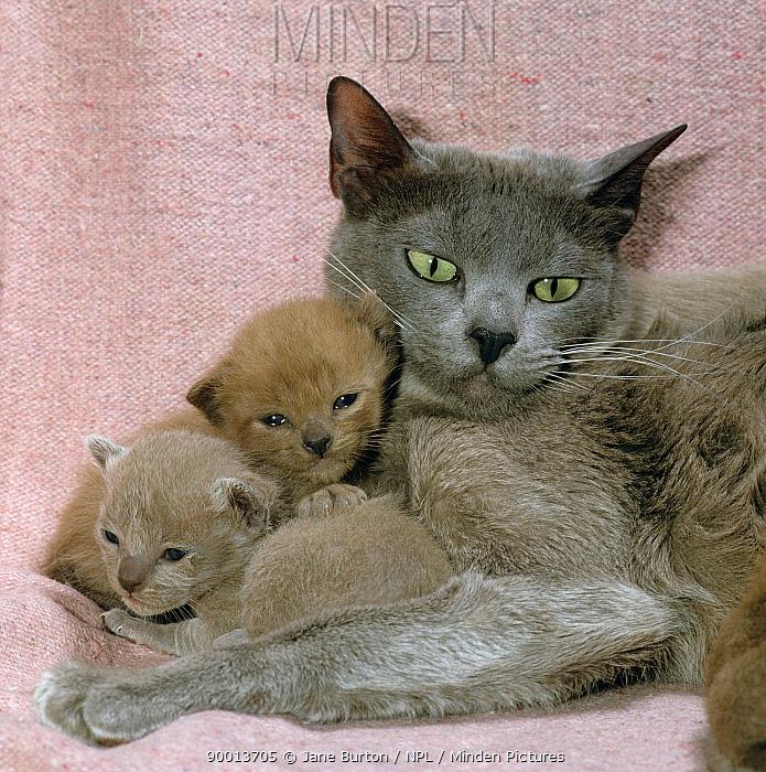Domestic Cat (Felis catus) Burmese with 16-day kittens  -  Jane Burton/ npl
