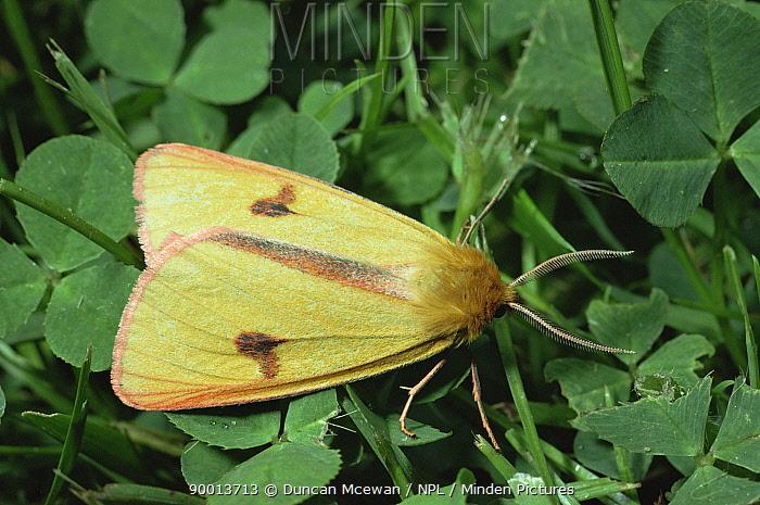 Clouded buff moth (Diacrisia sannio) grassland, Scotland, UK  -  Duncan McEwan/ npl