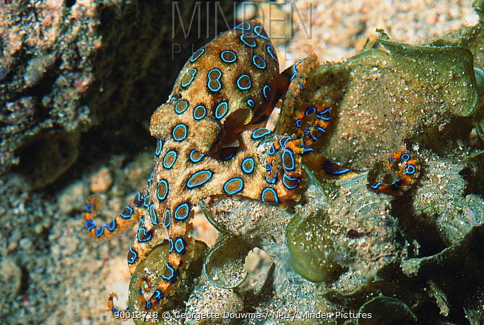 Greater Blue-ringed octopus (Hapalochlaena lunulata) Bunaken National Park, North Sulawesi, Indonesia  -  Georgette Douwma/ npl