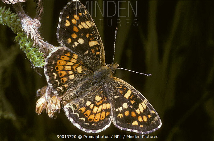 Field crescent butterfly (Phyciodes pulchella, campestris) Wyoming, USA  -  Premaphotos/ npl
