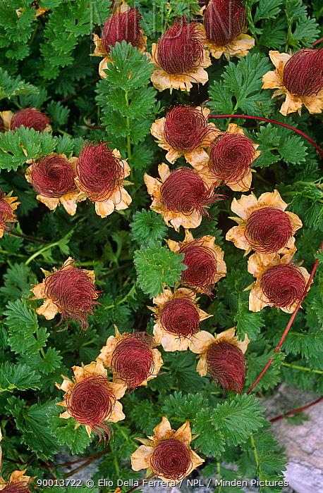 Geum (Geum reptans) flowers, Alps, Italy  -  Elio Della Ferrera/ npl