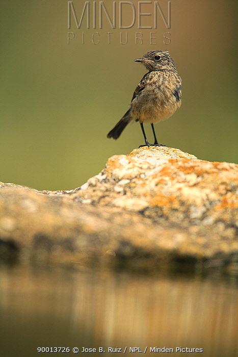Common Stonechat (Saxicola torquata) perching on rock by water, Moralet, Alicante, Spain  -  Jose B. Ruiz/ npl