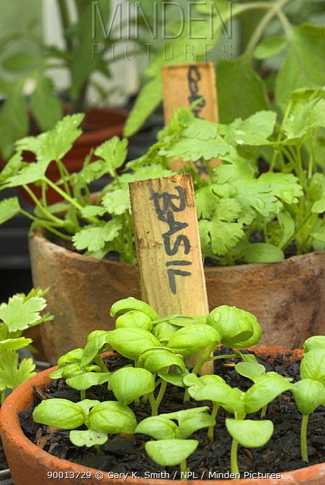Basil (Ocimum baslicum) and Coriander (Coriandum sativum) seedlings in terracotta pots  -  Gary K. Smith/ npl