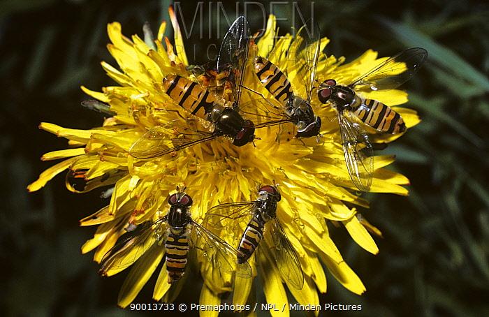 Marmalade Hover Fly (Episyrphus balteatus) males and females on Dandelion flower, United Kingdom  -  Premaphotos/ npl