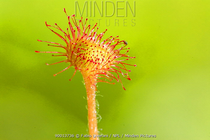 Common Sundew (Drosera rotundifolia), Emilia Romagna Region, Italy  -  Fabio Liverani/ npl