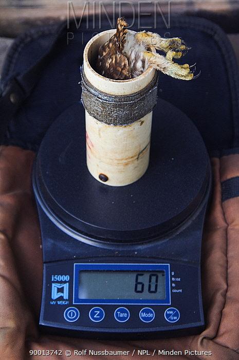 Ferruginous Pygmy Owl (Glaucidium brasilianum)biologist banding, weighing and conducting research Willacy County, Rio Grande, Texas  -  Rolf Nussbaumer/ npl