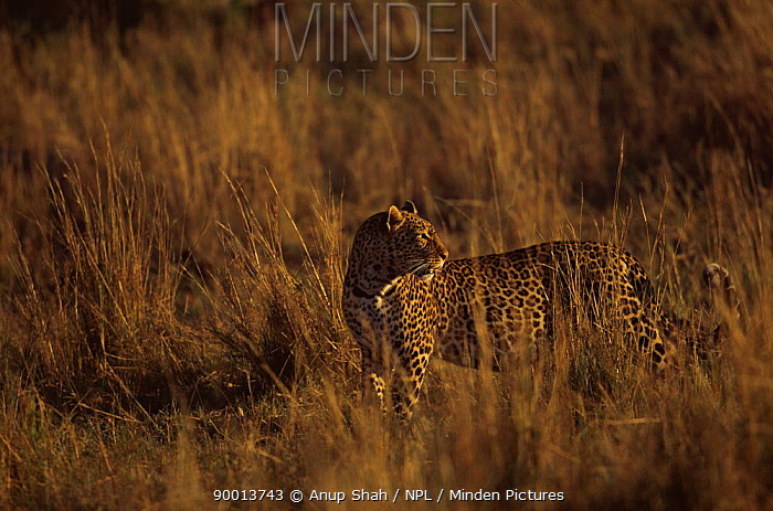 Leopard (Panthera pardus) in long grass at dawn, East Africa  -  Anup Shah/ npl