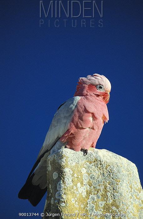 Galah cockatoo (Eolophus roseicapilla) perched on a Pinnacles Desert limestone pillar, Nambung NP, Western Australia  -  Jurgen Freund/ npl