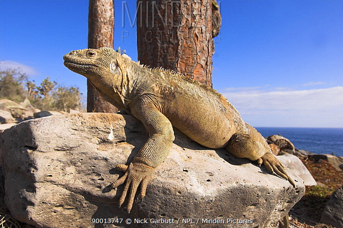 Santa Fe Land Iguana (Conolophus pallidus) basking in morning sunlight Isla Santa Fe, Galapagos, Ecuador  -  Nick Garbutt/ npl