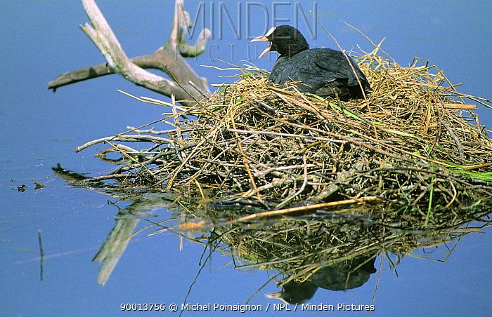 Coot (Fulica atra) on nest incubating eggs, Lorraine, France  -  Michel Poinsignon/ npl