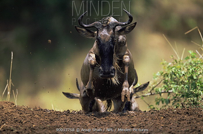 Blue Wildebeest (Connochaetes taurinus) running up river bank after crossing Mara River, East Africa  -  Anup Shah/ npl