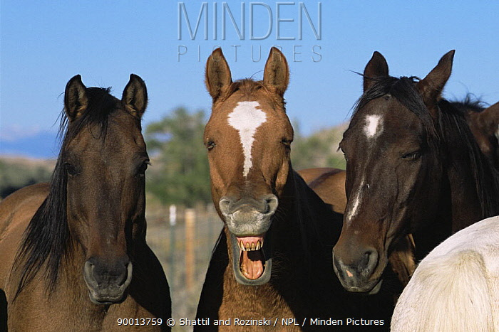 Three horses, one yawning, Colorado, USA  -  Shattil & Rozinski/ npl