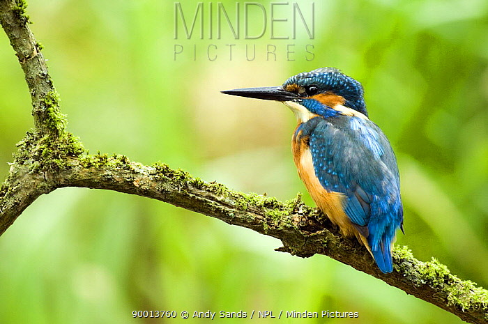 Common Kingfisher (Alcedo atthis) perched on mossy branch, Hertfordshire, England, United Kingdom  -  Andy Sands/ npl