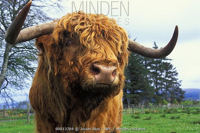 Highland cow (Bos taurus) portrait, Scotland, UK  -  Jouan & Rius/ npl