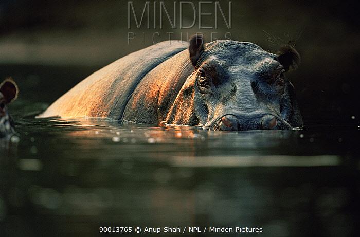 Hippopotamus (Hippopotamus amphibius) partially submerged, East Africa  -  Anup Shah/ npl