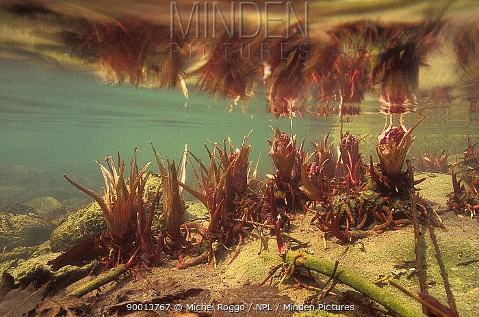 Butterbur (Petasites hybridus) submerged underwater in spring, Saane river, Switzerland  -  Michel Roggo/ npl