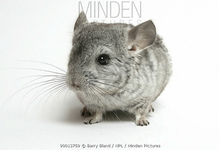 Pet Chinchilla portrait  -  Barry Bland/ npl