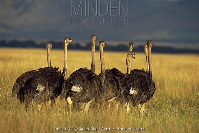 Ostrich (Struthio camelus) group on savanna, Masai Mara GR, Kenya  -  Anup Shah/ npl
