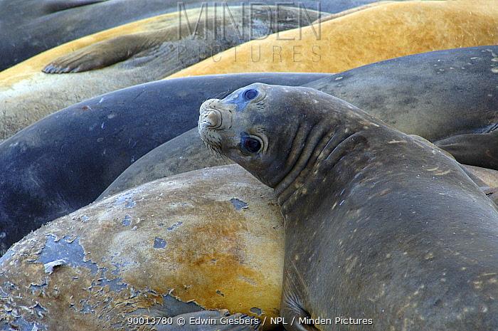 Southern Elephant Seal (Mirounga leonina) female looking up, Antarctica  -  Edwin Giesbers/ npl