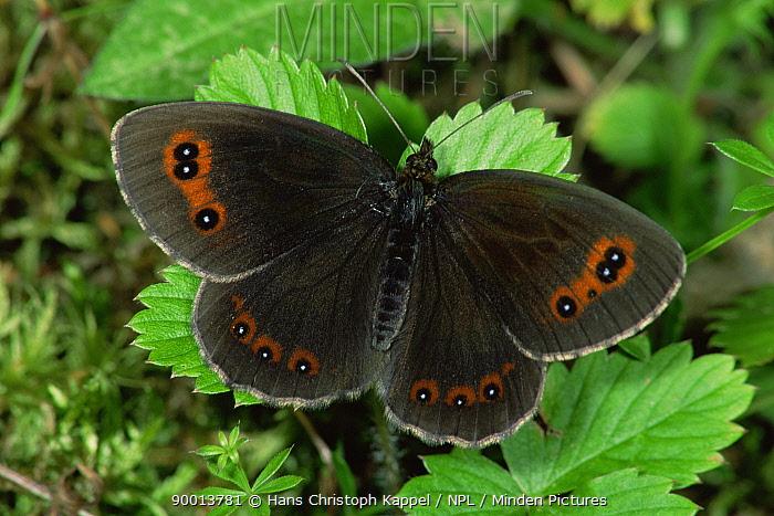 Almond Eyed Ringlet Butterfly (Erebia alberganus) on leaves, Germany  -  Hans Christoph Kappel/ npl