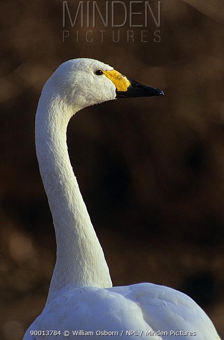 Bewick's swan Portrait (Cygnus bewickii) UK  -  William Osborn/ npl