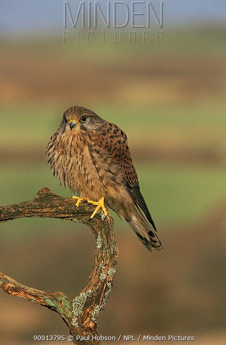 Eurasian Kestrel (Falco tinnunculus) on branch, South Yorkshire, United Kingdom  -  Paul Hobson/ npl