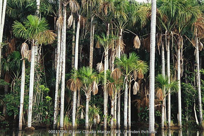 Moriche palm trees (Mauritia flexuosa) beside Sandoval Lake, Madre de Dios, Peru  -  Luiz Claudio Marigo/ npl