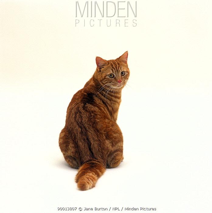 Domestic Cat (Felis catus) Red tabby female 'Glenda' rear view sitting, looking back  -  Jane Burton/ npl