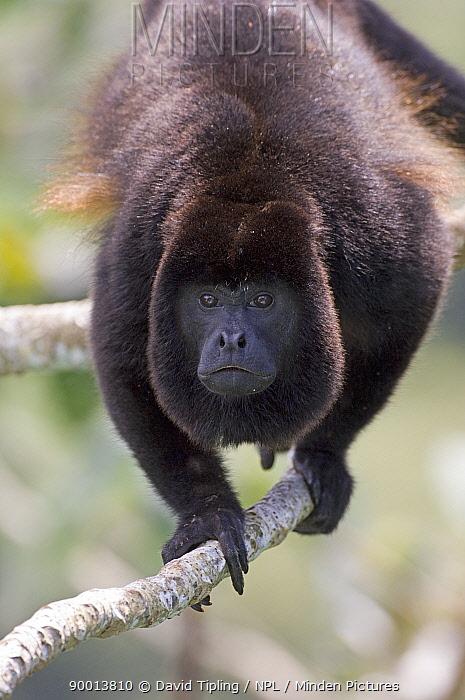 Mantled Howler Monkey (Alouatta palliata) male on branch, Soberiana National Park, Panama  -  David Tipling/ npl