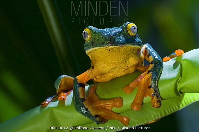 Splendid Leaf Frog (Agalychnis calcarifer) on palm leaf, Costa Rica  -  Philippe Clement/ npl
