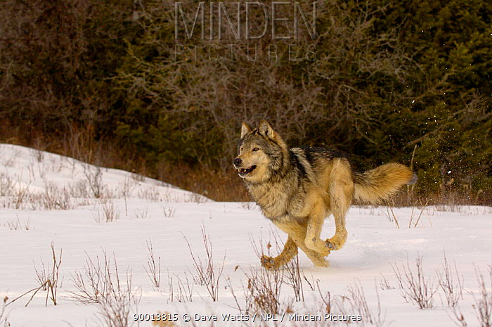Grey Wolf (Canis lupis) running in snow, captive, USA  -  Dave Watts/ npl